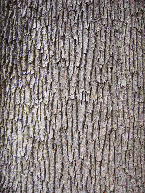 Take advantage of the starker Winter landscape to appreciate the varied beauty of tree bark.
